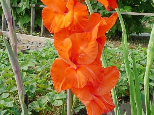 цветы гладиолусы, оранжевые