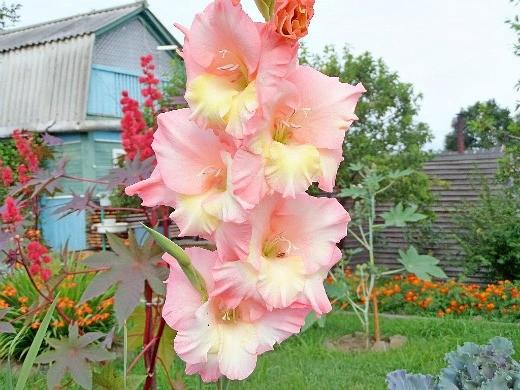 цветы гладиолусы - розовые с желтым
