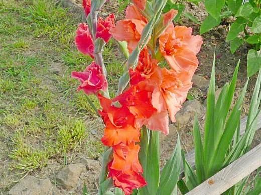 цветы гладиолусы розовые и оранжевые
