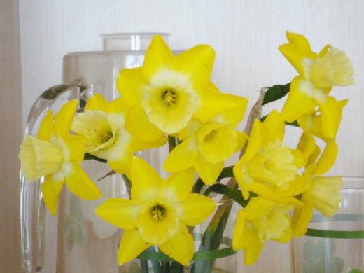 цветы нарциссы 1-1