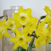цветы нарциссы 1-2