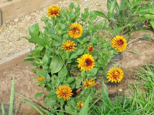 цветы рудбекия 1-1
