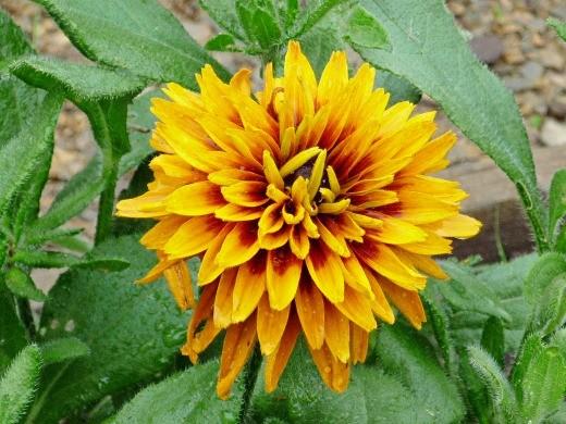 цветы рудбекия 2-1