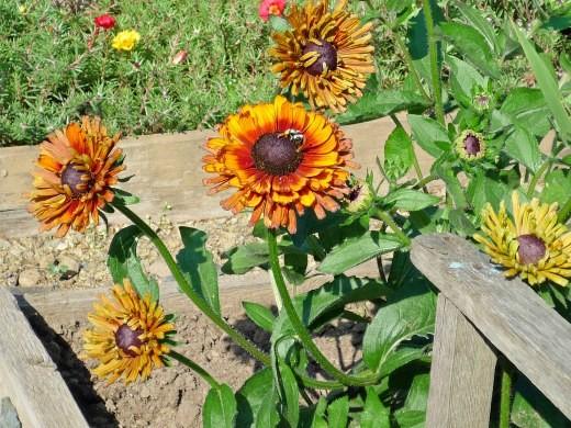 цветы рудбекия 3-1