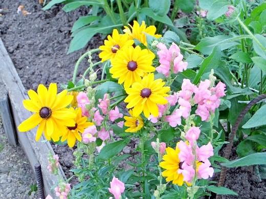 цветы рудбекия - столь редкая желтая расцветка