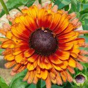 цветы рудбекия 5-1