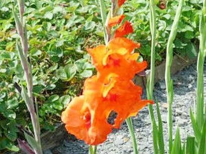 tsvetyi-gladiolusyi-1