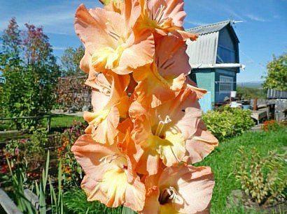 tsvetyi-gladiolusyi