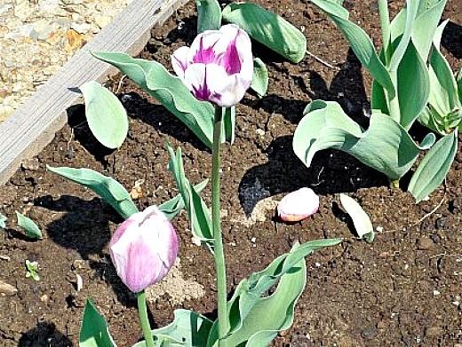 уход и посадка тюльпанов осенью - на цветочной грядке