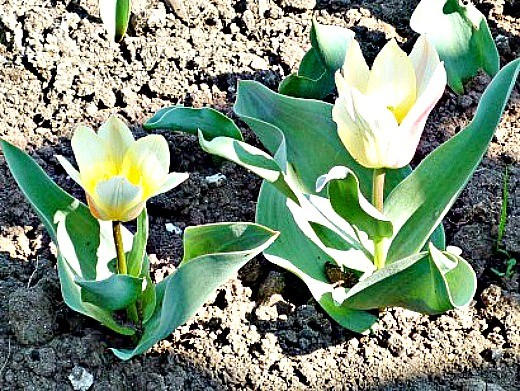 уход и посадка тюльпанов осенью - на клумбе