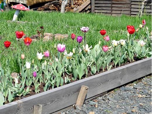 уход и посадка тюльпанов осенью 1-6