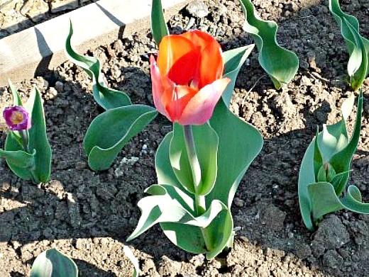 уход и посадка тюльпанов осенью 1-7