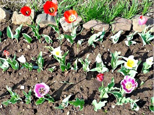 уход и посадка тюльпанов осенью - цветы в рабатке