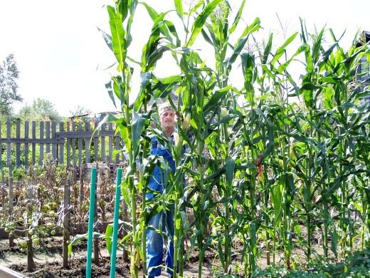 выращивание кукурузы на даче 1-1