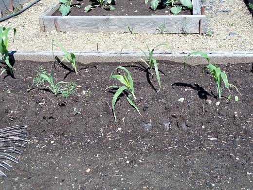 выращивание кукурузы на даче 1-4