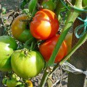 выращивание помидоров в открытом грунте на даче 1