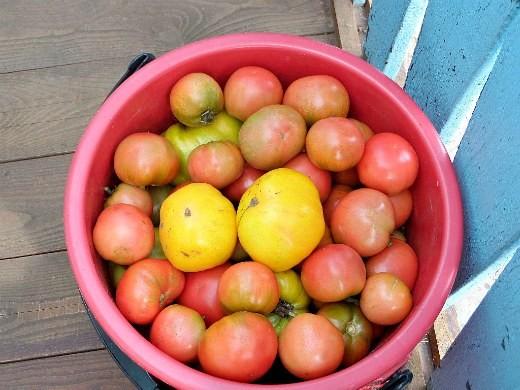 выращивание помидоров в открытом грунте на даче 3
