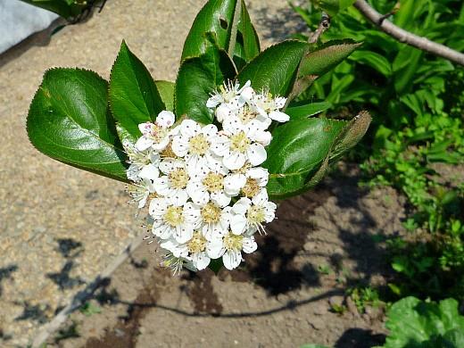 черноплодная рябина, посадка и уход 1-3