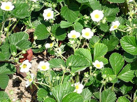 клубника, посадка и уход - цветение