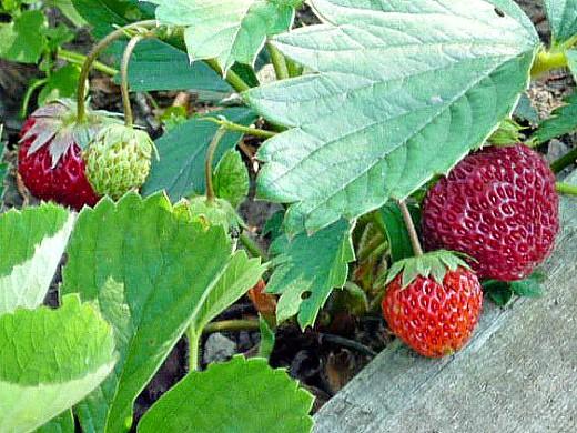 клубника, посадка и уход - ягода поспевает 1-3
