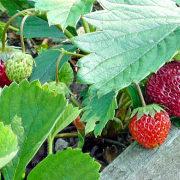 клубника, посадка и уход - ягода поспевает