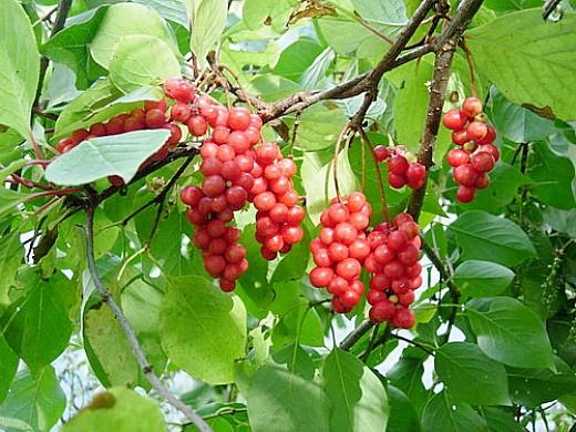 лимонник дальневосточный (китайский) выращивание 1-1