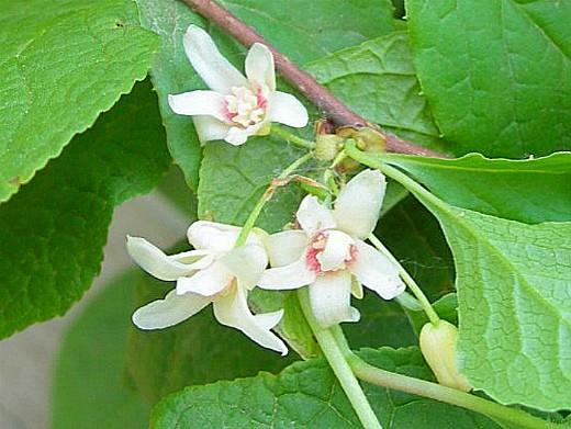 лимонник дальневосточный (китайский) выращивание 1-3