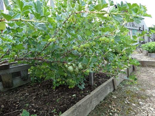 посадка и выращивание крыжовника 1-4