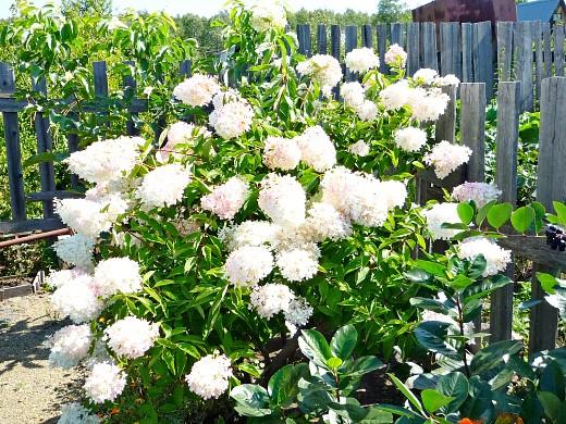 садовые цветы гортензия 1-1