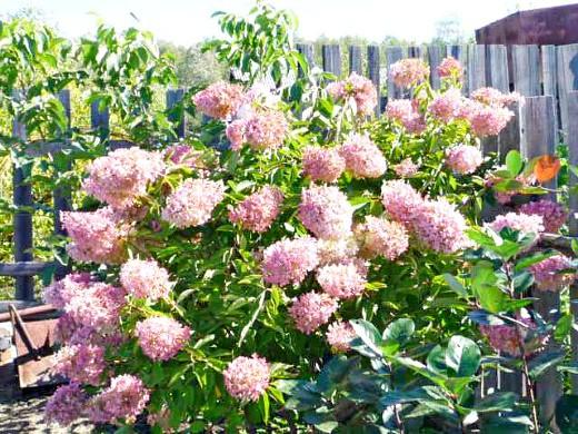садовые цветы гортензия 1-3
