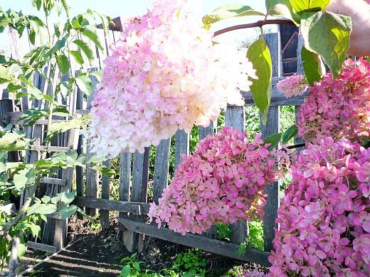 садовые цветы гортензия 1-4