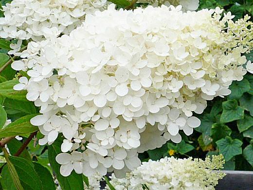садовые цветы гортензия 1-5