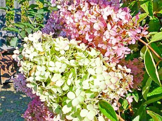 садовые цветы гортензия 1-6