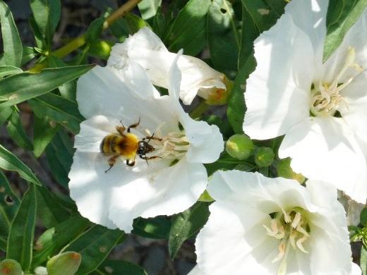 цветок годеция - белые