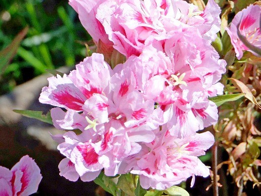 цветок годеция розовый с красными вкраплениями