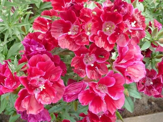 цветок годеция красный