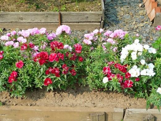 цветок годеция - дачная клумба