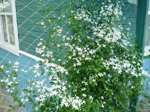 цветок клематис на дачной перголе