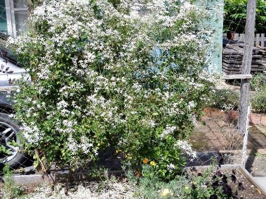 белый цветок клематис, растущий на сетке