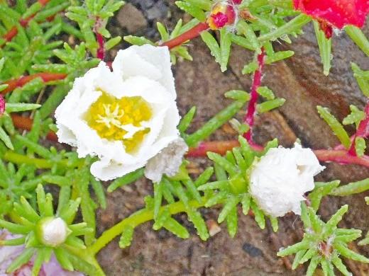 белый цветок портулак