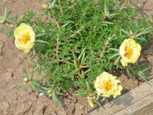 розово-желтый цветок портулак