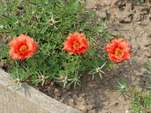 красный цветок портулак