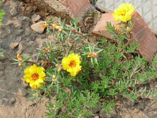 желтый цветок портулак