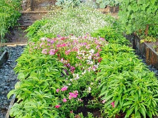 цветы бальзамин 1-3