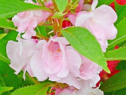 цветы бальзамин 1-4