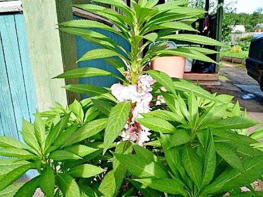 Цветы бальзамин садовый
