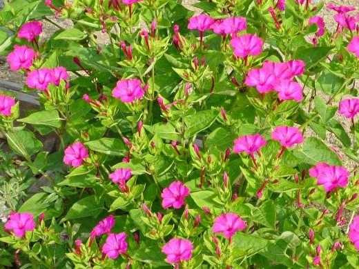 цветы мирабилис, фото - сиреневые