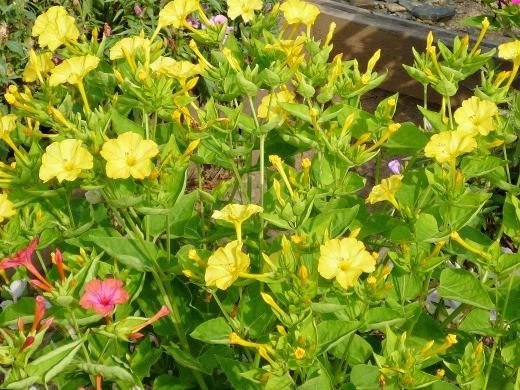 цветы мирабилис, фото - желтые