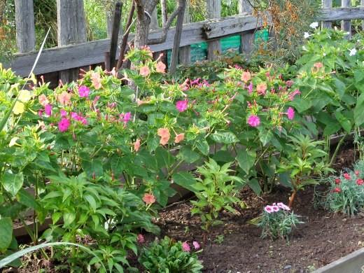 цветы мирабилис, фото - на дачной клумбе