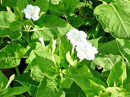 цветы мирабилис, фото - белые
